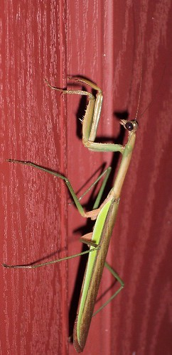 Praying Mantis on Shutter