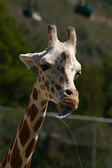 Giraffe-05
