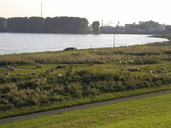 Rhine Sheep 0805 003