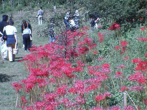 Higanbana(Cluster amaryllis)