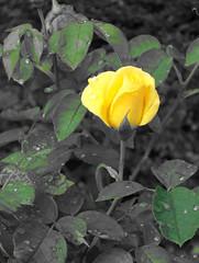 rose jaune, 041005