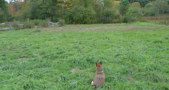 Shiba in the grass