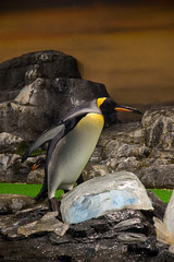 The penguin will kick ice.:-)