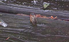 First cicada siting