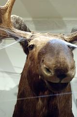 Poor Moose