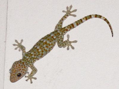 Samui Gecko