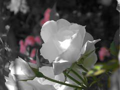 rose,081105