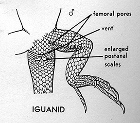 Iguanid ventral graphic