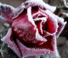 Frosted Rose (by wit)