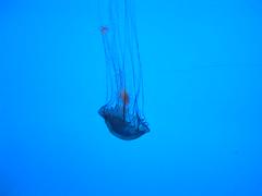 Jelly Fish photo by timmredpath