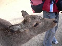 Deer@Nara