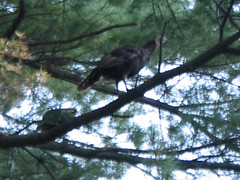 Wild turkeys 9/30/05