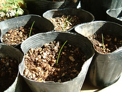 ゼフィランサス(玉簾)の種蒔き後と苗ポット