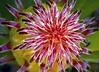 Leucospermum Scarlet Ribbons