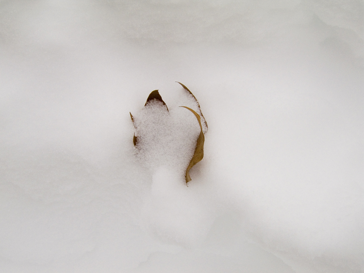 leaf buried in snow