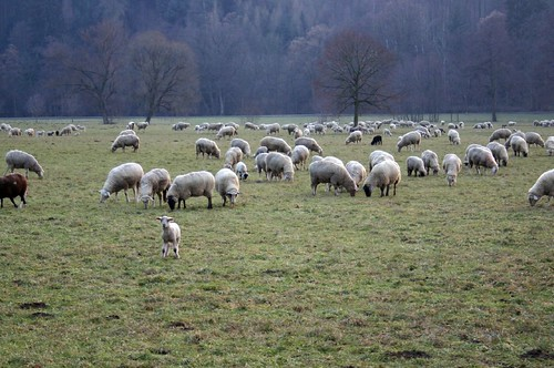 Landscape with sheep (another one)