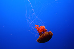 Jellyfish photo by the_tahoe_guy