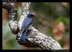 Tickell's Blue Flycatcher photo by Jnarin