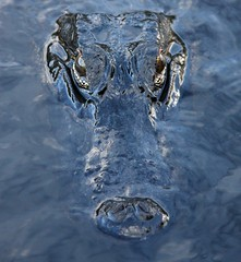 Alligator In the Evergaldes National Park CloseUp photo by GMills31