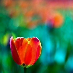 Punch Drunk Tulip Love
