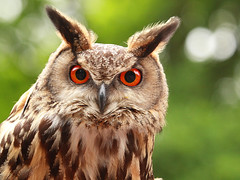 Uhu / Eagle-Owl (Bubo bubo) photo by Sexecutioner