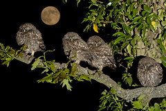 Family of Little Owl chicks (Athena noctua) photo by phil winter