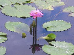 Waterlily: Pink 03