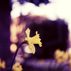 A host of golden daffodils; beside the lake, beneath the trees, fluttering and dancing in the breeze photo by amber {in the shadow of za'ha'dum}