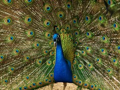Indian Peafowl photo by Andy von der Wurm