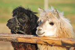 Alpaca photo by Picture  hunter