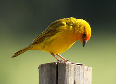 Canário-da-terra - (Saffron finch) - (Sicalis flaveola) photo by claudio.marcio2