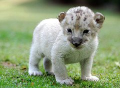 Baby lion photo by floridapfe