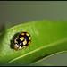Propylea quatuordecimpunctata - פרופילאת השתיים-עשרה נקודות
