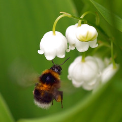 A bumble bee flying to a Lily of the Valley. photo by Bienenwabe