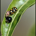 Ladybirds gathering -  מפגש המושיות