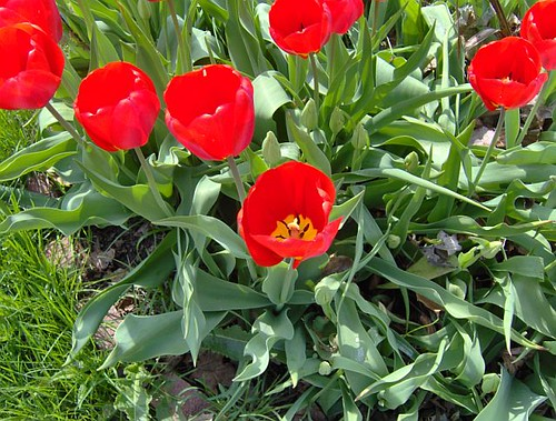 tulipsred2