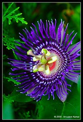 Passiflora Purple Haze photo by Anupam Kamal