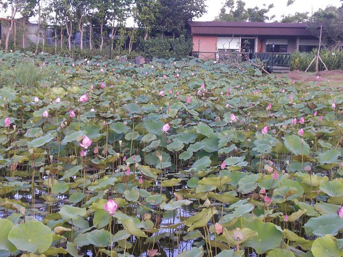 Lotus Farm: beside an old house