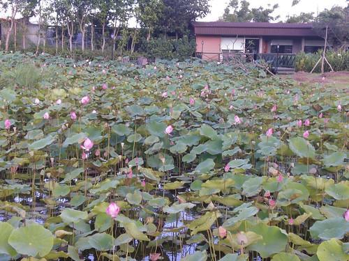 Lotus Farm: beside an old house