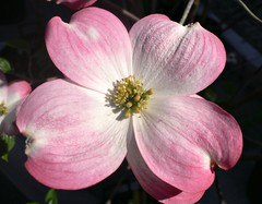 """Cornus Florida Rubra"" flower (Pink flowering dogwood) photo by Luigi Strano"