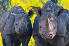 Black Rhinoceros (Diceros bicornis) (Endangered), photo by Arno Meintjes Wildlife