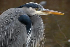 Great Blue Heron photo by Vesuvianite