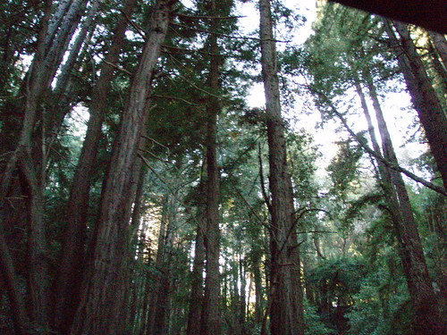 Redwoods on Old La Honda Road
