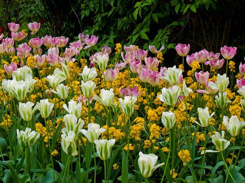 London Tulips