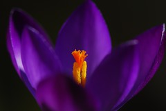 Spring flower and colours, Purple Crocus, Purpurea Grandiflora photo by natureloving