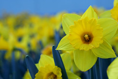 daffodils photo by ginnerobot