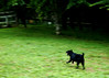 Running Black Dog