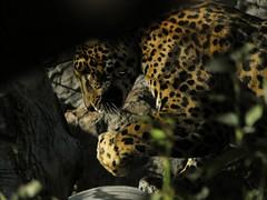 Anthropomorphic Jaguar photo by sidewinder_7777