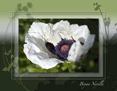 Oriental White Poppy photo by quiksilver_ice