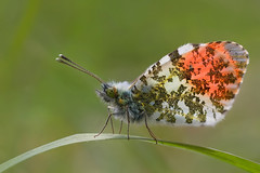 Backlit Male Orange Tip Butterfly photo by steb1